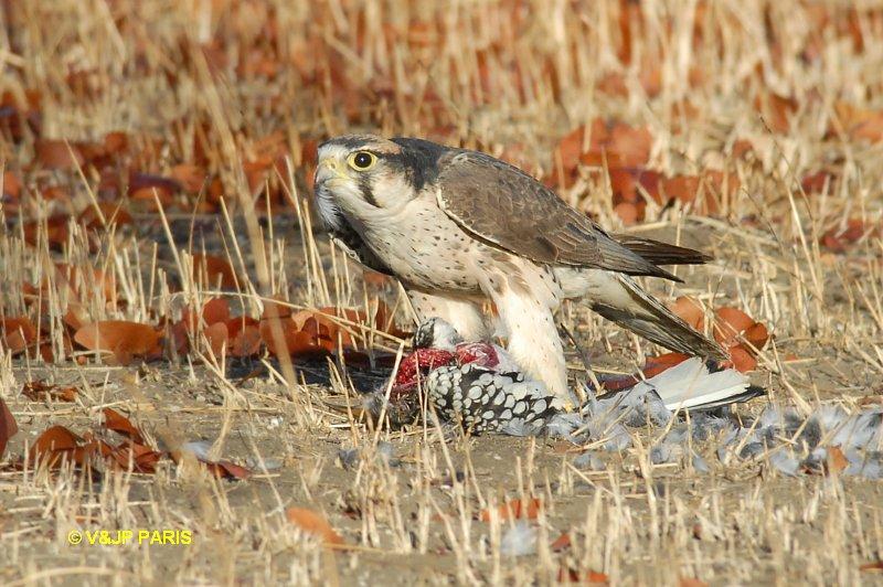 Falconiformes. sub Falconidae - sub fam Falconinae - gênero Falco Lannerfalcon1