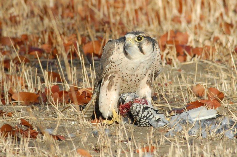 Falconiformes. sub Falconidae - sub fam Falconinae - gênero Falco Lannerfalcon2