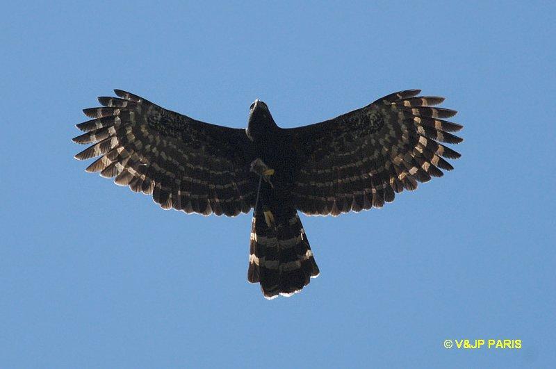 Falconiformes. Família  Acciptridae - Subfamília Buteonidade- Gaviões de penacho. genêro SPIZAETUS Spizaetetyran1