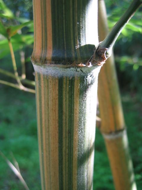 Bambusa vulgaris striata Edulis_nabeshimana