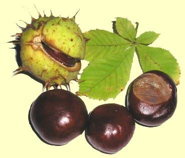 Chataignes comestibles et marrons (d'inde) Marrons