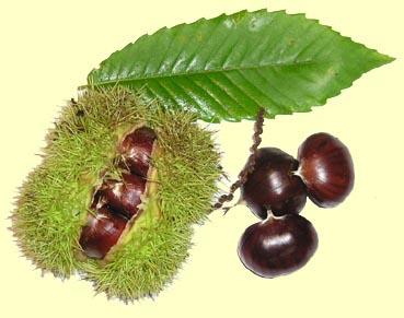 Chataignes comestibles et marrons (d'inde) Chataigne