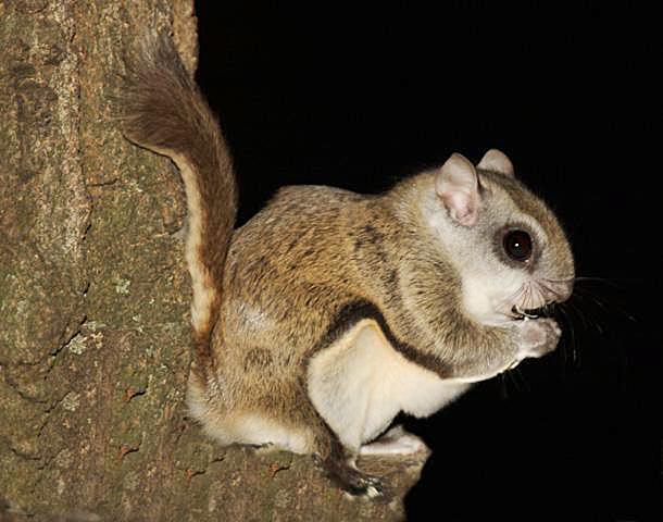 أنواع السناجب  Gal-flying-squirrel