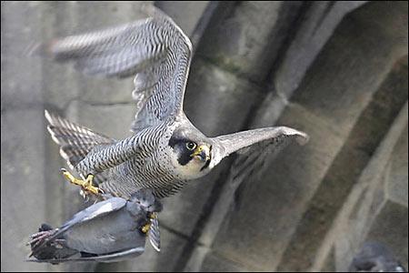 Falconiformes. sub Falconidae - sub fam Falconinae - gênero Falco - Página 2 Falcon_gallery_15_450x300