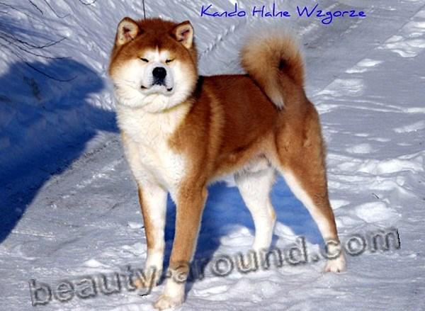 Все самые красивые собаки Мира 10akita-inu