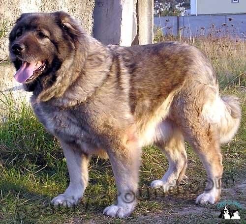 Все самые красивые собаки Мира 1258571401_ovcharka