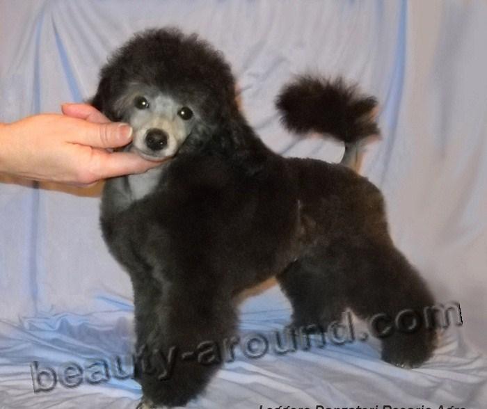 Все самые красивые собаки Мира 1pudel