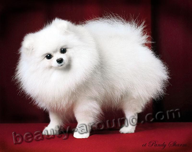 Все самые красивые собаки Мира 2Sneghka_spiz133