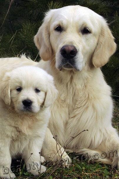 Все самые красивые собаки Мира 4retriver