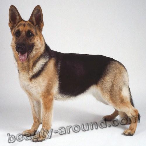 Все самые красивые собаки Мира 5