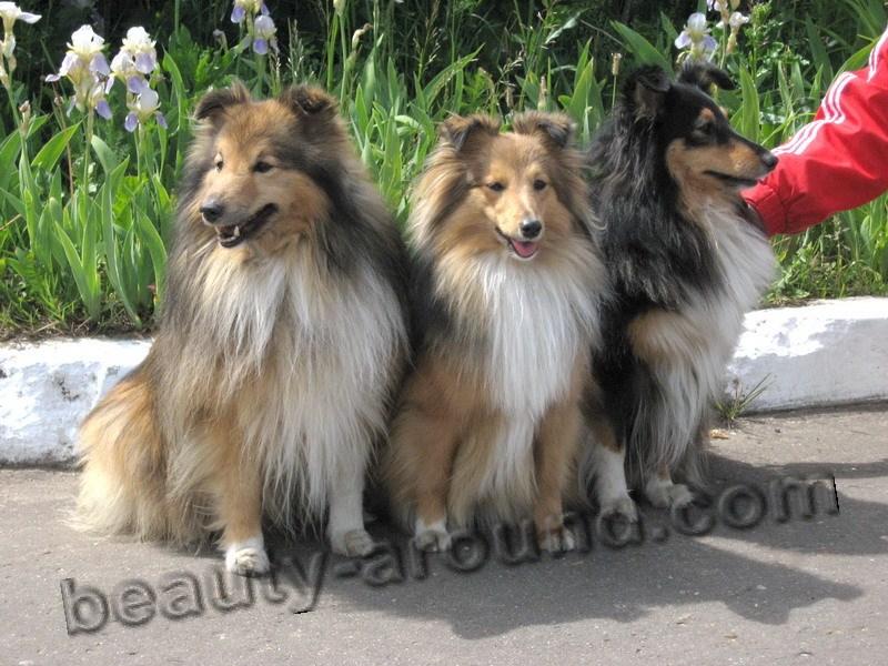 Все самые красивые собаки Мира 9shelti