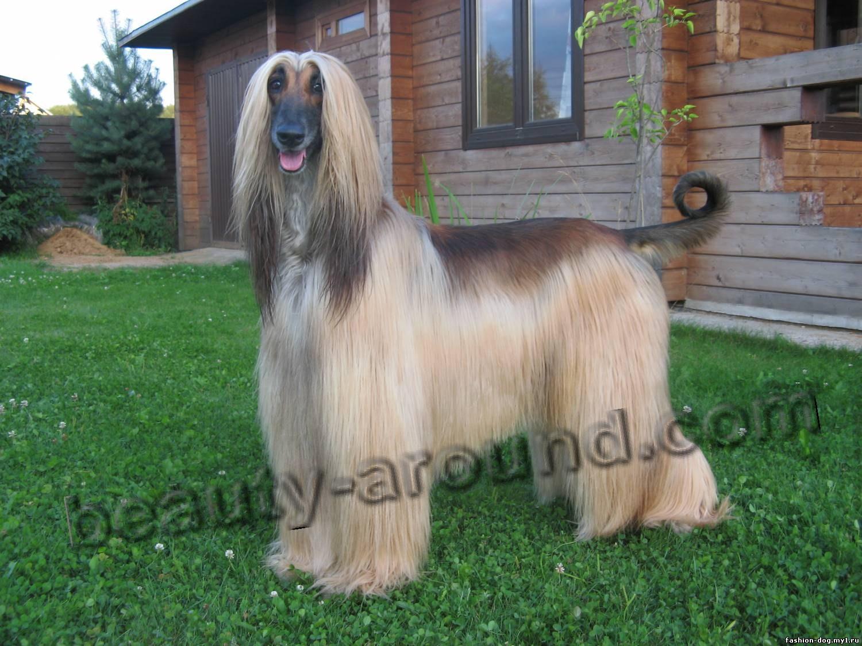 Все самые красивые собаки Мира Afganskaya-borzaya