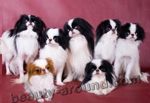 Все самые красивые собаки Мира Japanese-Chin-4