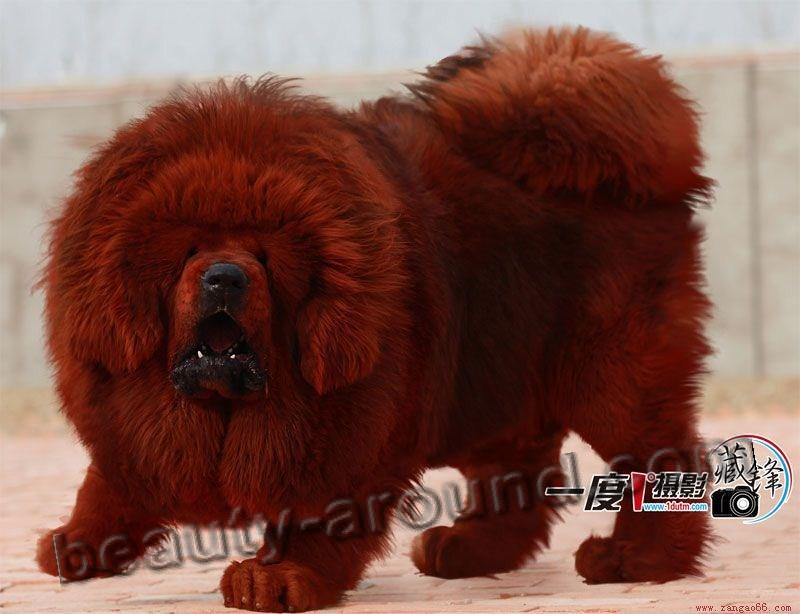 Все самые красивые собаки Мира Tibetan-Mastiff