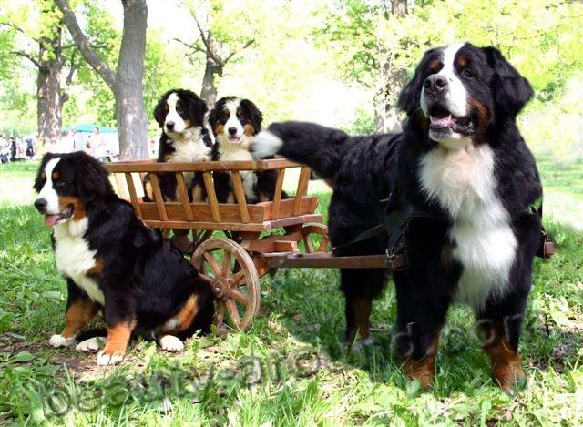 Все самые красивые собаки Мира Bernski_zenenhoond