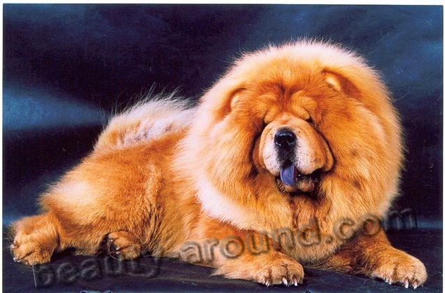Все самые красивые собаки Мира Chau-chau