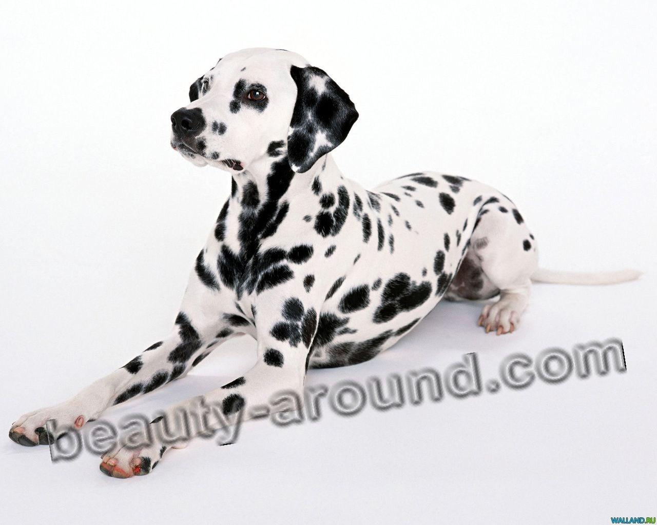 Все самые красивые собаки Мира Dalmat