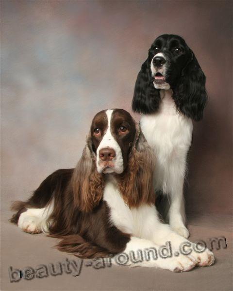 Все самые красивые собаки Мира Engleesh_springer_spaniel2