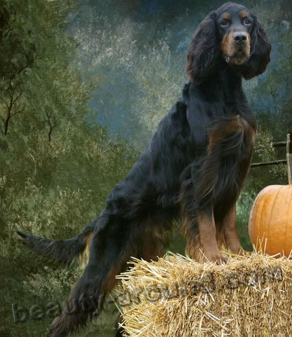 Все самые красивые собаки Мира Gordonsetterrexart