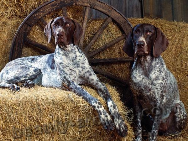 Все самые красивые собаки Мира Kurchaar