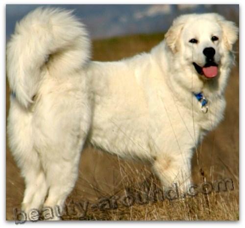 Все самые красивые собаки Мира Kuvas
