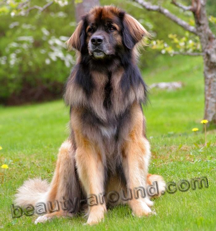 Все самые красивые собаки Мира Leonberg1
