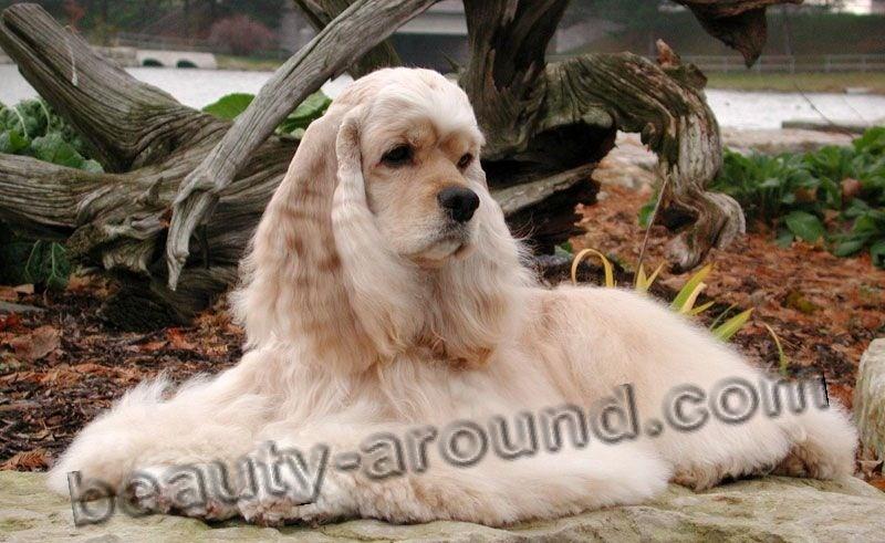 Все самые красивые собаки Мира Merican-Cocker-Spaniel%2014%20%282%29