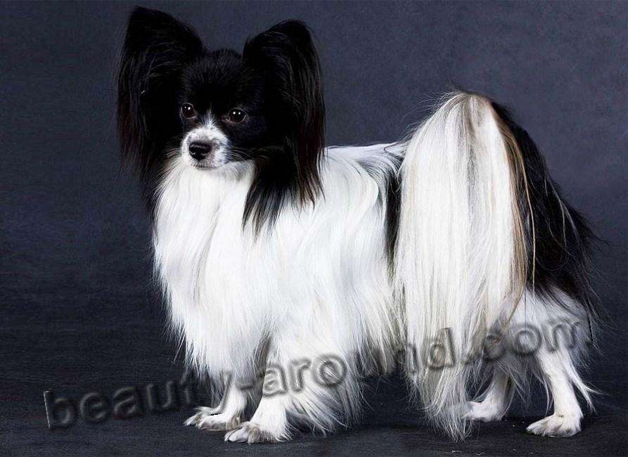 Все самые красивые собаки Мира Papilon-1