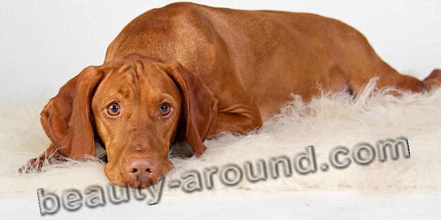 Все самые красивые собаки Мира Vengersk_vyujla