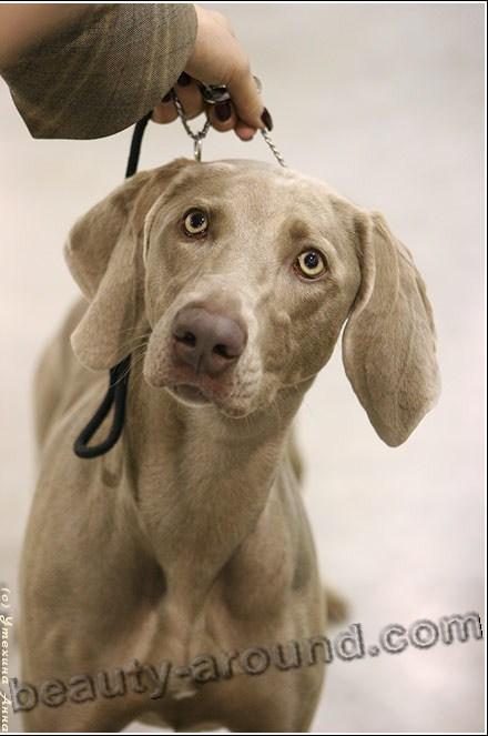 Все самые красивые собаки Мира Weimaraner1%20%282%29