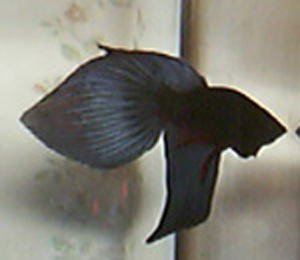 Betta splendens : Forme et couleur  Photo2090