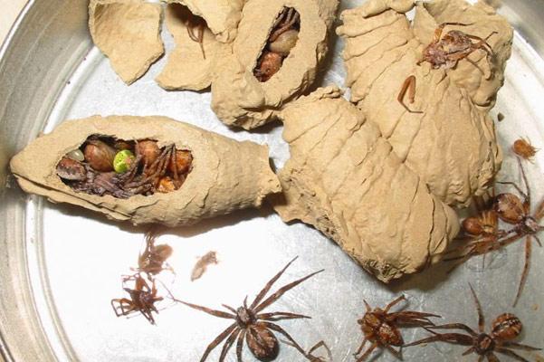 Bộ sưu tập côn trùng 2 - Page 5 Sceliphron_curvatum_5