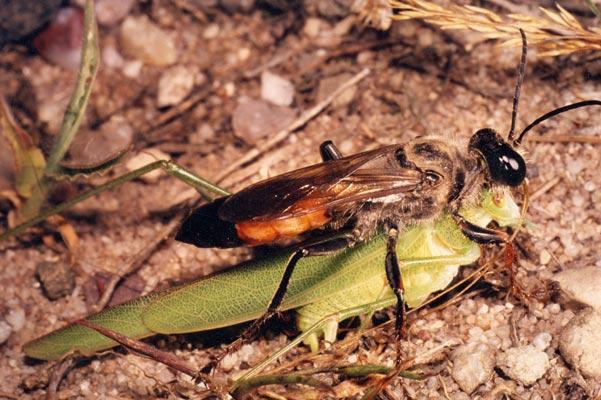 Bộ sưu tập côn trùng 2 - Page 6 Sphex_funerarius_smissen