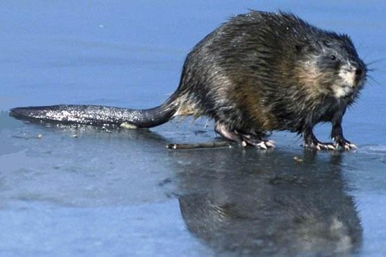 Bonne Jeudi Rat-musqu%C3%A9