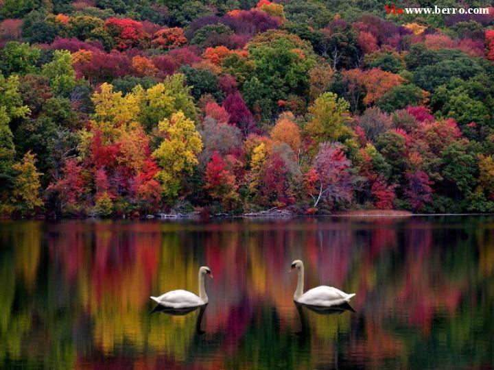 BILDES.. GLEZNAS.. Skaistais.. Swans_lake_forest_autumn_majestic