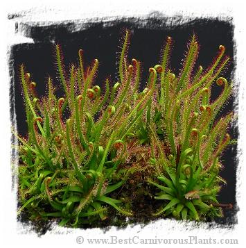 Drosera filiformis (Pine Barrens) Drosera_filiformis_filiformis_large