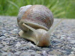 Google image  Escargot