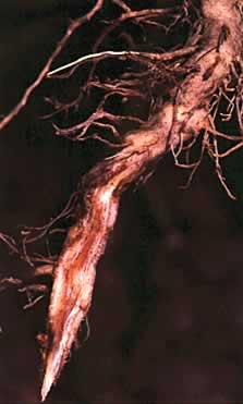 ملف كامل عن زراعة الطماطم  - صفحة 2 Root%20rot