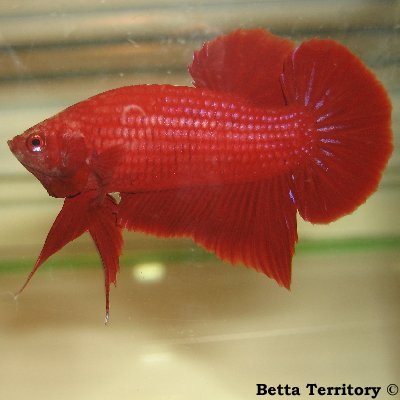 Betta Territory: Something in red............. BT100208A-RedHMPKM20wkb