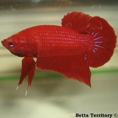 Betta Territory: Something in red............. BT100208A-RedHMPKM20wkd