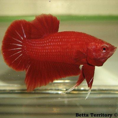 Betta Territory: Something in red............. BT100208A-RedHMPKM20wke