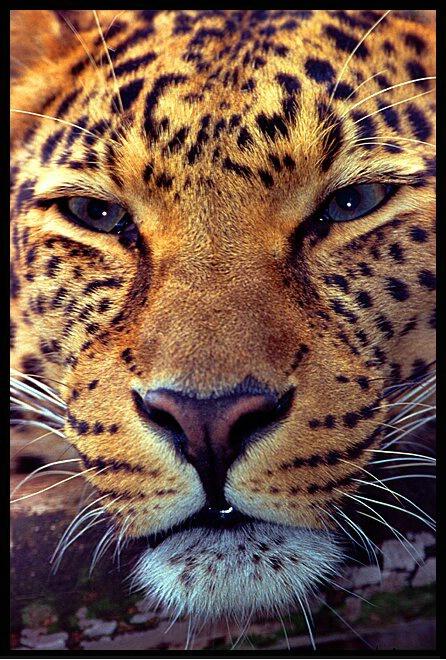 لمحبين صور النمور 021108004841african_leopard1