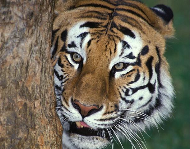 لمحبين صور النمور 021202231701tiger