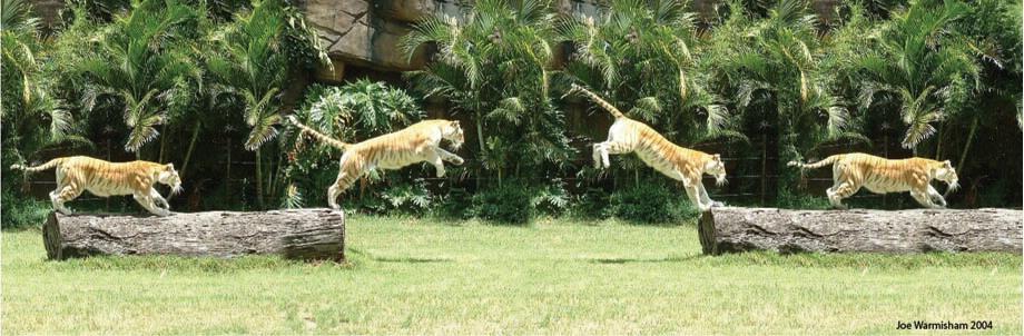 لمحبين صور النمور 0402262004021jumping_tigersmall