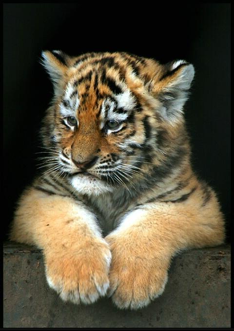 لمحبين صور النمور 0501021353331img_6392