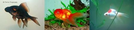 AKVARYUM BALIKLARI Goldfish
