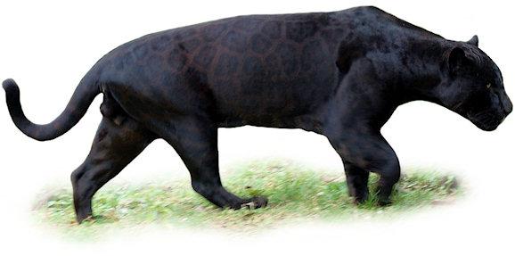 Jaguar monstro VS Tigre de Sumatra Jaguar_schwarz