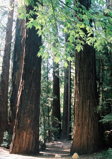 Árvores - Nossos baixos antes de tomar forma Redwoods-lrg