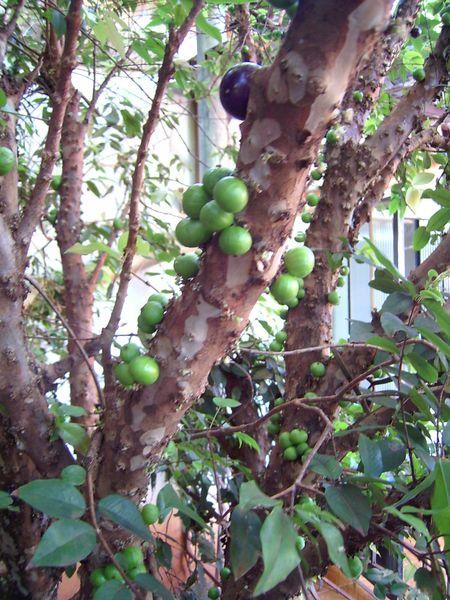 Myrtengewächse (Myrtaceae) - OHNE Eukalypten 7fad-37a-679d