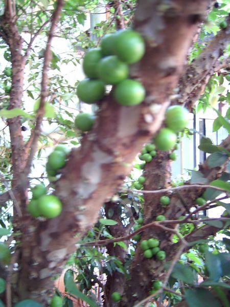Myrtengewächse (Myrtaceae) - OHNE Eukalypten 7fad-37b-acff